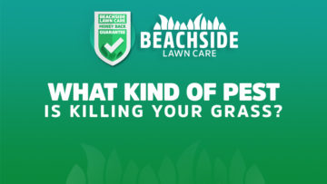 beachside lawn care - what kind of pest is killing your grass